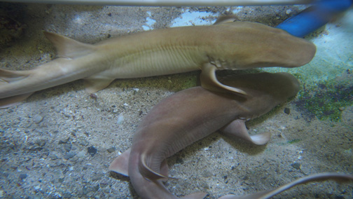 Captive Born Juvenile Nurse Sharks